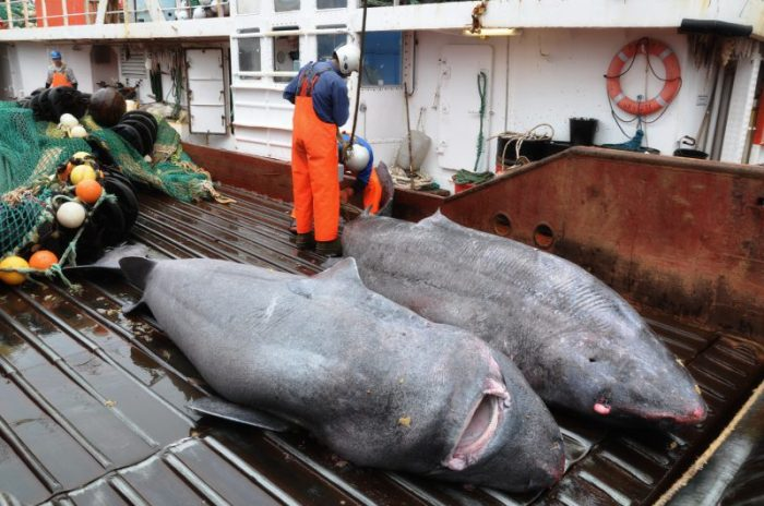 Greenland_sharks_bycatch-800x531